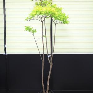 スモークツリー ゴールデンスピリットⓇ 販売 値段 価格 画像 写真 庭木 安行 植木 お問い合わせ商品