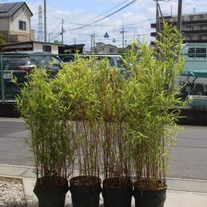 カンチク 寒竹 販売 画像 価格 値段 庭木 安行 植木 目隠し お問合せ商品