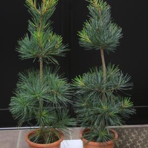 朝鮮五葉松 朝鮮五葉 チョウセンゴヨウ 朝鮮松 苗木 販売 値段 価格 画像 写真 庭木 植木 お問合せ商品