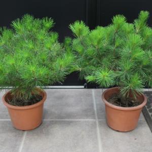 多行松 タギョウショウ 販売 値段 価格 画像 写真 庭木 安行 植木 お問合せ商品 #タギョウショウ