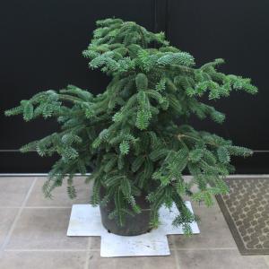 アビエス ヌミディカ グラウカ Abies numidica Glauca 大苗 販売 画像 写真 価格 値段 安行 植木