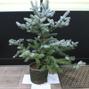 プンゲンストウヒ・ホプシー 販売 画像 写真 値段 価格 庭木 安行 植木 お問い合わせ商品 #ホプシー