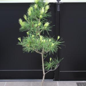 ジャノメマツ 蛇の目松 販売 画像 価格 値段 庭木 安行 植木 シンボルツリー お問い合わせ商品