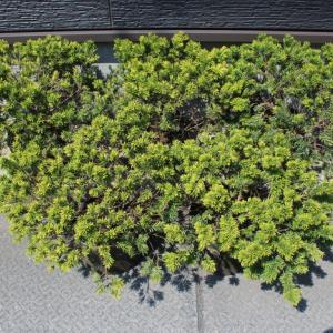 キンキャラ キンメキャラボク オウゴンキャラボク 玉仕立て 販売 画像 写真 価格 値段 植木 #キンキャラ