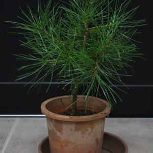 白松 シロマツ ハクショウ #三鈷の松 三葉の松 実生 販売 価格 値段 画像 写真 植木 お問合せ商品