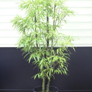 キッコウチク 亀甲竹 2本立ち 小さな穴有り 販売 画像 写真 価格 値段 庭木 安行 植木 お問合せ商品