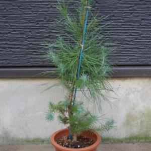イタリアカサマツ ピナスピネア ノエルツリー 販売 値段 価格 画像 写真 庭木 植木 シンボルツリー