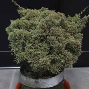 シンパク 真柏 ミヤマビャクシン 玉仕立て 販売 画像 写真 価格 値段 安行 植木 お問い合わせ #シンパク