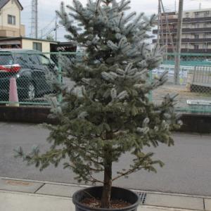 プンゲンストウヒ・ホプシー 輸入苗 美品 美樹形 販売 画像 写真 値段 価格 庭木 植木 #ホプシー