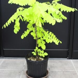 ニセアカシア フリーシア 黄金アカシア 希少品 販売 値段 価格 画像 写真 庭木 安行 植木 シンボルツリー