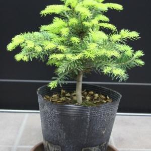 コーカサス モミノキ ノールマン・モミ 販売 価格 値段 画像 写真 庭木 安行 植木 #モミノキ #クリスマスツリー