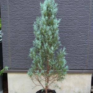 コニファー ウィッチタブルー 'Wichite Blue' 販売 価格 値段 画像 写真 庭木 安行 #ウィッチタブルー