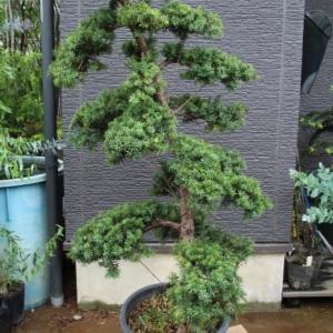 キャラボク 伽羅木 キャラノキ 仕立物 希少品 販売 画像 写真 価格 値段 庭木 安行 植木 シンボルツリー