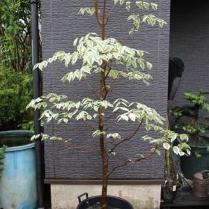 斑入り ハイブリッドハナミズキ 彩 イロドリ 白花 最新樹種 希少 販売 値段 価格 写真 画像 庭木 安行 植木
