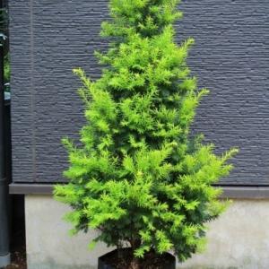 オウゴンイチイ 黄金一位 黄金櫟 貴重希少品 販売 値段 価格 画像 写真 庭木 安行 植木 お問い合わせ商品