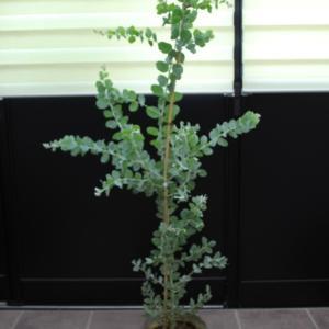 パールアカシア クイーンズランドシルバーワトル 販売 価格 値段 画像 写真 庭木 安行 シンボルツリー