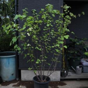 マルバノキ 丸葉木 株立ち 極上品 希少品 販売 画像 写真 値段 価格 庭木 安行 植木 お問い合わせ商品