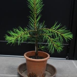 白松 シロマツ ハクショウ #三鈷の松 三葉の松 販売 価格 値段 画像 写真 庭木 植木 お問い合わせ商品