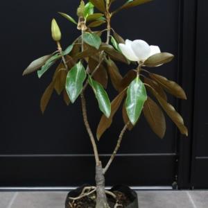 タイサンボク リトルジェム 四季咲き 矮性 販売 画像 写真 価格 値段 庭木 安行 植木 シンボルツリー