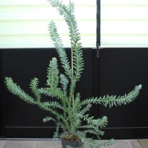 アカシア #ブルーブッシュ 販売 画像 写真 価格 値段 庭木 安行 植木 シンボルツリー お問合せ商品