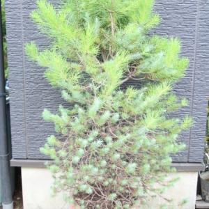 イタリアカサマツ ピナスピネア ノエルツリー 販売 値段 価格 画像 写真 庭木 植木 お問い合わせ商品