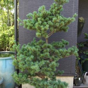 五葉松 ゴヨウマツ 大苗木 半仕立て 販売 画像 写真 価格 値段 庭木 安行 植木 主木 お問い合わせ商品