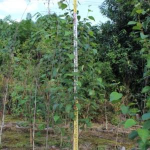 シラカバ ジャックモンティー 西洋シラカバ 販売 価格 値段 画像 写真 庭木 安行 植木 お問い合わせ商品