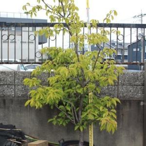 河津桜 カワヅザクラ 美品 販売 画像 写真 値段 価格 庭木 安行 植木 シンボルツリー お問い合わせ商品