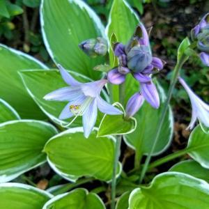 ホスタの花も咲きました by sen