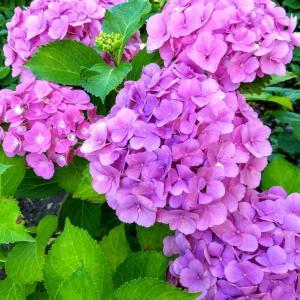 ようやく紫陽花も by sen