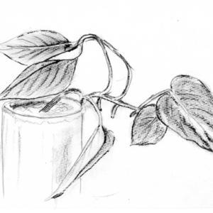 ポトスを色鉛筆で描く
