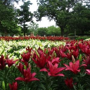 千種公園 ユリ開花する