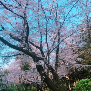 昨日は桜と雪という組み合わせ。