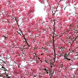 濃いピンクの桜 陽光