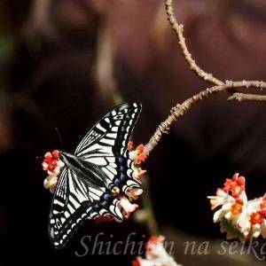 ミツマタにとまるアゲハチョウ