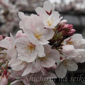 2020 千鳥ヶ淵の桜