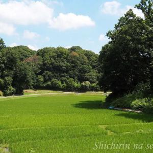 谷戸のたんぼの緑