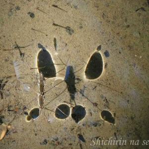 アメンボはなぜ水の上を歩く?