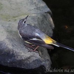 キセキレイの幼鳥