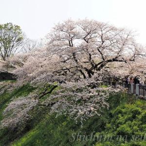 千鳥ヶ淵の桜 ~ 平成最後の東京の桜