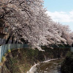 平成を惜しみつつ桜の散るらん