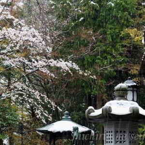 東京高尾山の雪の桜