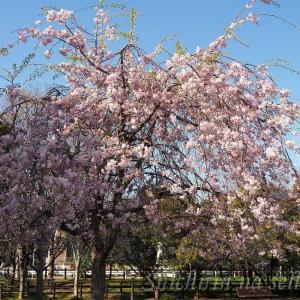 桜も八重桜へと・・・