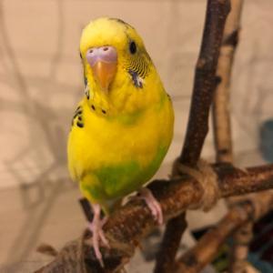 セキセイちゃんは、ちっちゃいから、きをつけないとね(鳥クリエーターさん募集中)