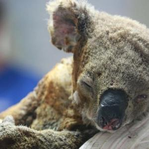 【署名のお願い】オーストラリアのコアラを絶滅の危機から救おう