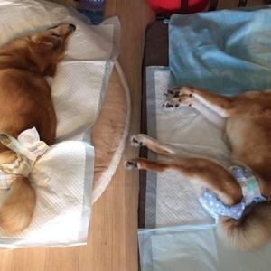 【署名のお願い】防げるはずの犬の遺伝病を無くしたい