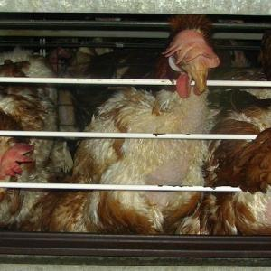 【署名のお願い】狭いケージで飼育されているニワトリを救おう