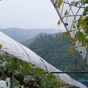 小雨の葡萄畑!!