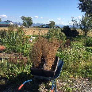 【畑】雑草畑その後と収穫