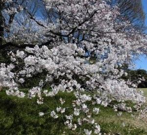 明治神宮と東京乗馬倶楽部の桜